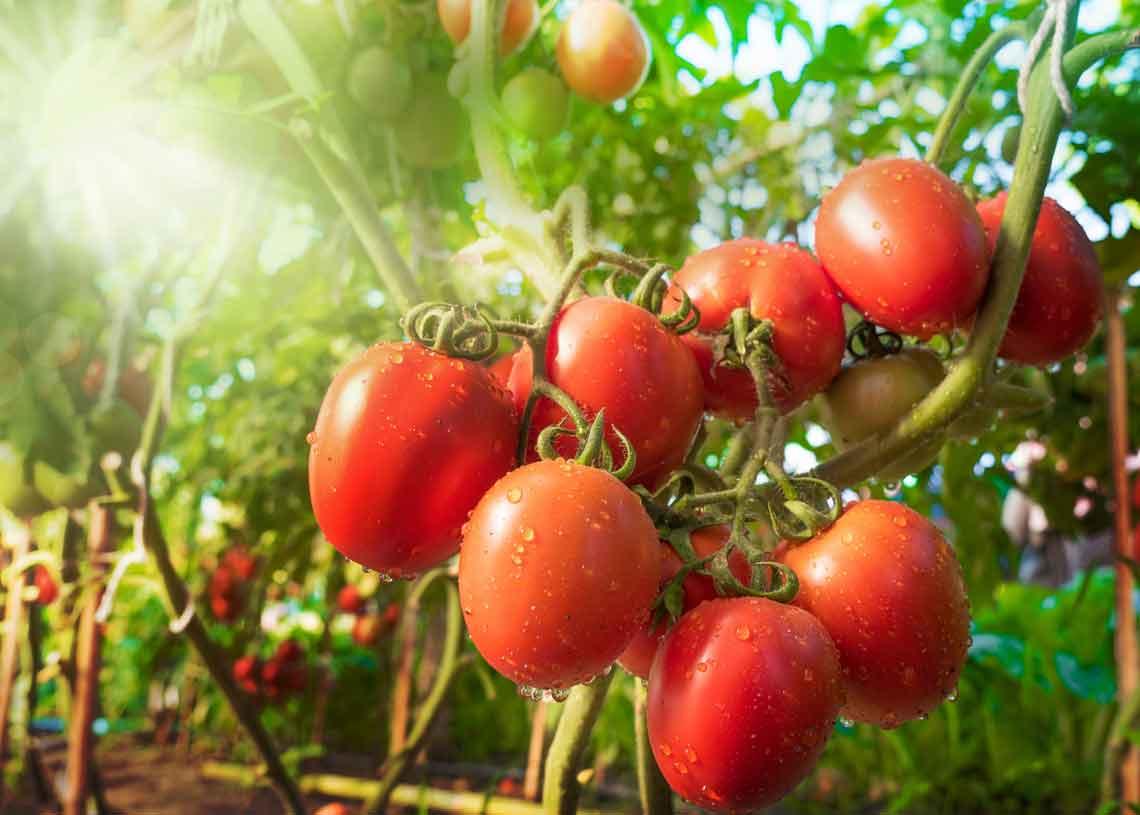 Alles rund um das Thema Tomate   ORO di Parma
